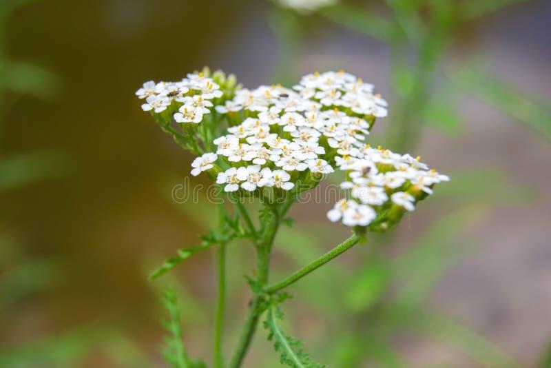 Fleurs blanches sensibles sur un champ vert images libres de droits