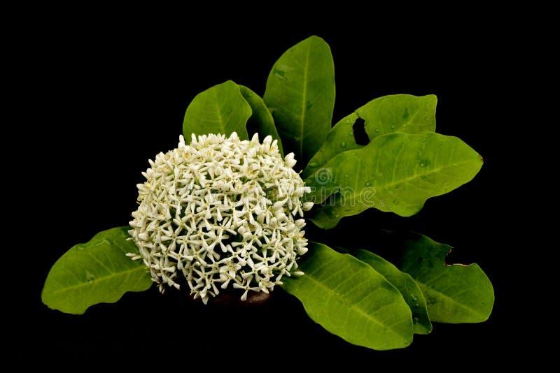 Fleurs blanches siamoises d'ixora image stock