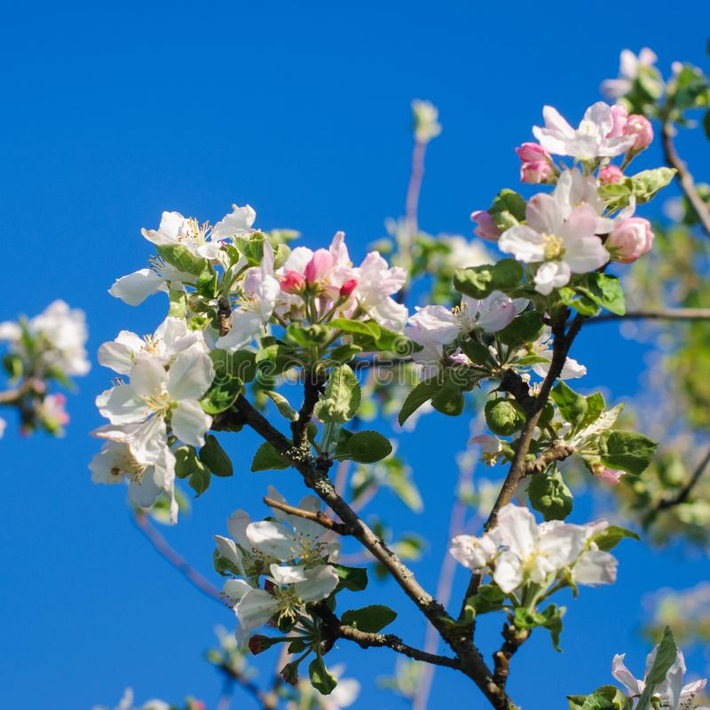 Download Fleurs Blanches Sur Des Branches Blanc D'arbre De Source D'isolement Par Fond Image stock - Image du accroissement, bourgeon: 87707585