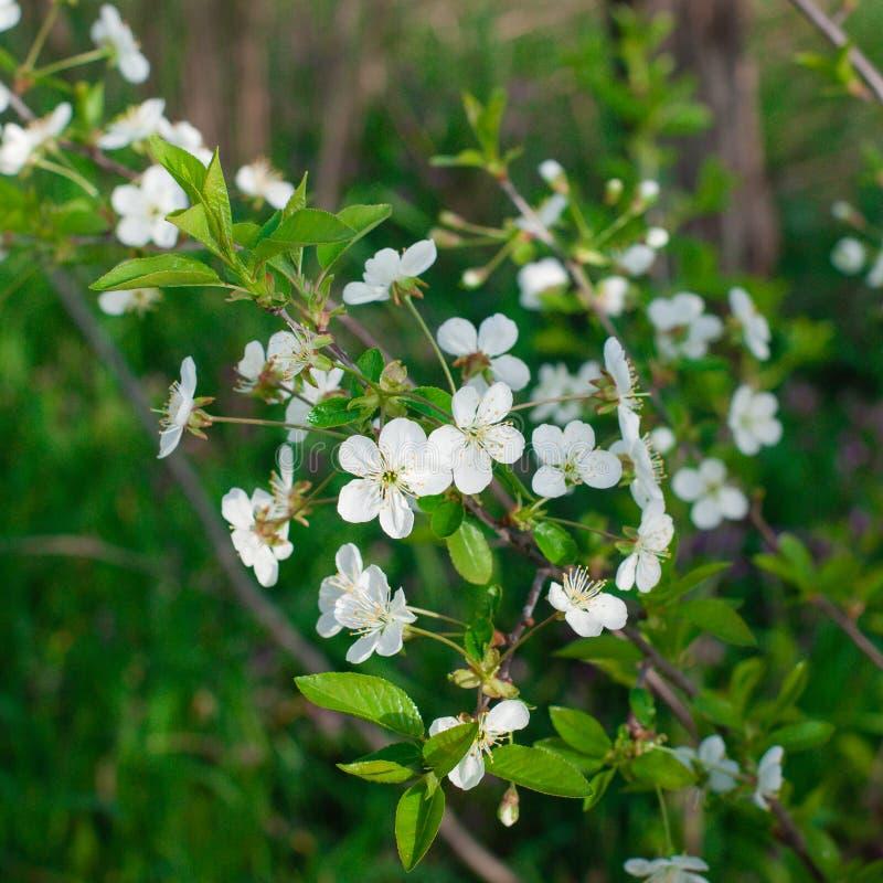 Download Fleurs Blanches Sur Des Branches Blanc D'arbre De Source D'isolement Par Fond Image stock - Image du bourgeon, sensible: 87707627