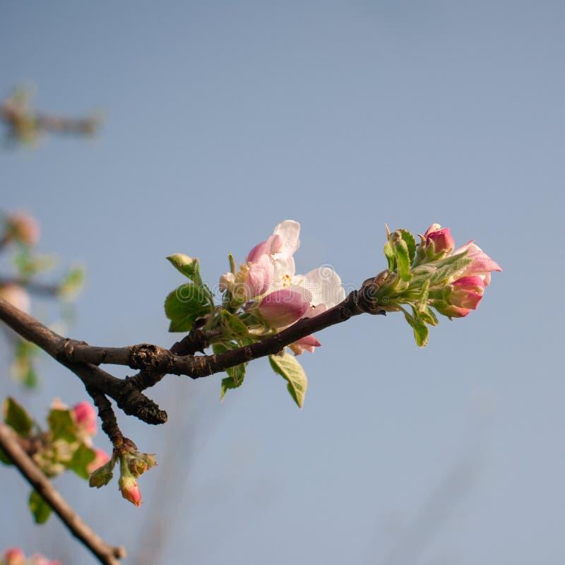 Download Fleurs Blanches Sur Des Branches Blanc D'arbre De Source D'isolement Par Fond Image stock - Image du floral, culture: 87707633