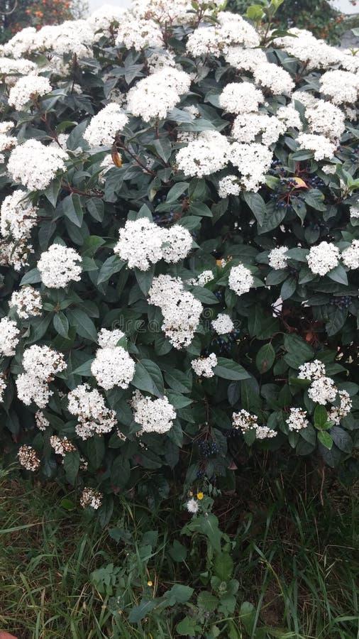 Fleurs blanches sur des rues de la Grèce photo stock