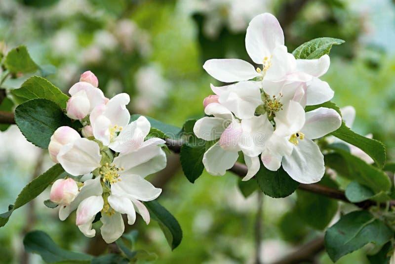 Fleurs blanches sur l'appletree de branches photo libre de droits