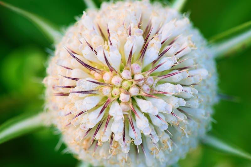 Fleurs blanches sur le plan rapproché de chardon image libre de droits