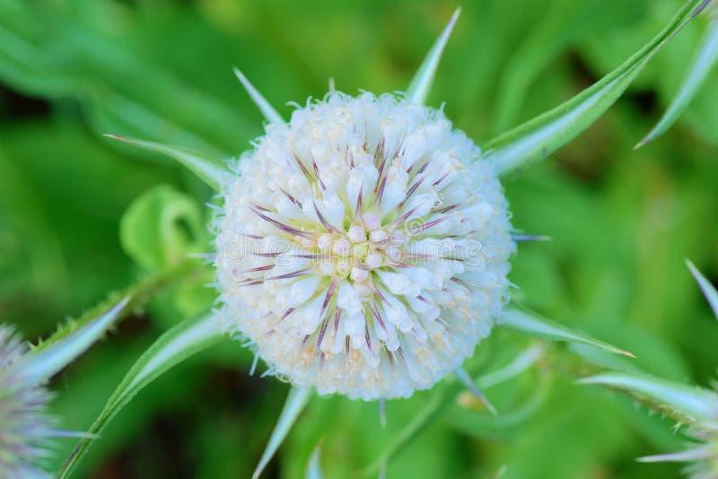 Fleurs blanches sur le plan rapproché de chardon images stock