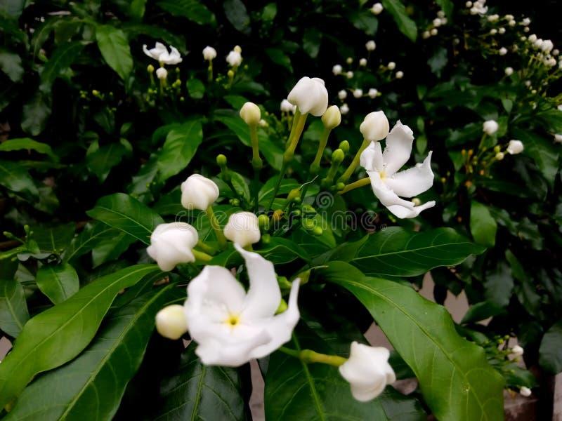 Fleurs blanches sur les feuilles vertes photo stock