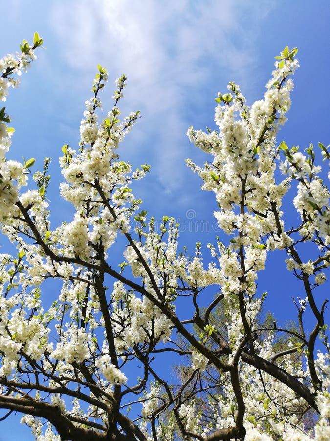 Fleurs blanches sur un arbre de ressort image libre de droits