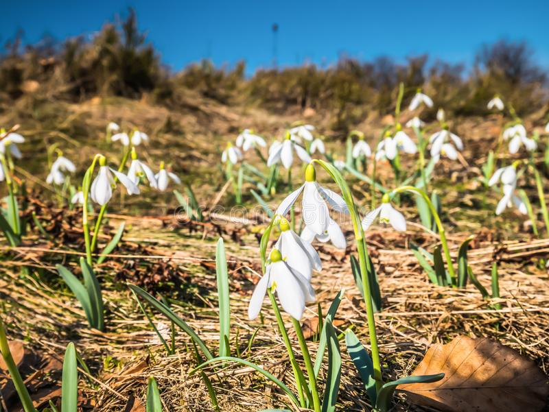 Fleurs blanches sur une clairière de montagne photos libres de droits