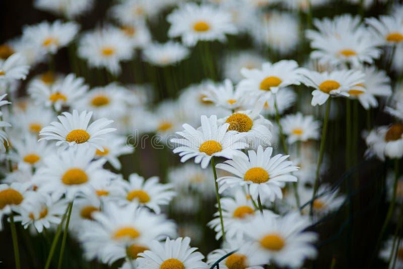 Fleurs blanches, vertes et jaunes photographie stock libre de droits