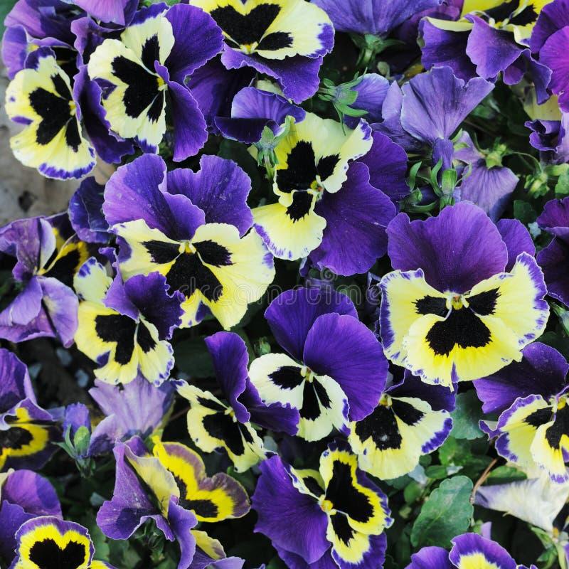 fleurs Bleu-jaunes. photographie stock