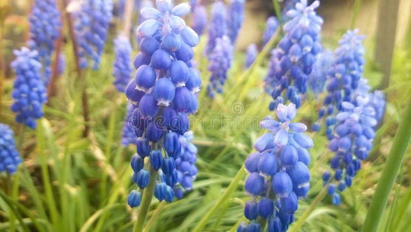 Fleurs bleues image stock