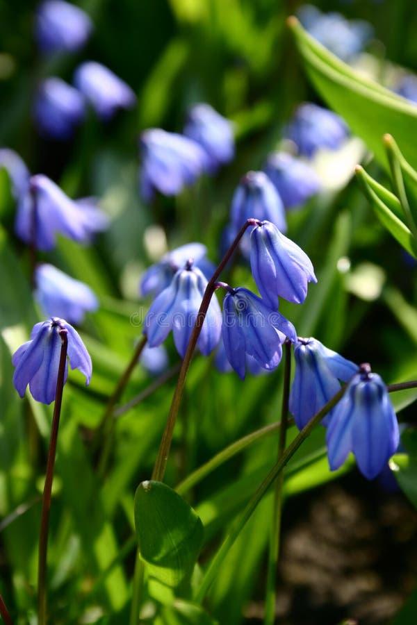 Fleurs bleues photos libres de droits