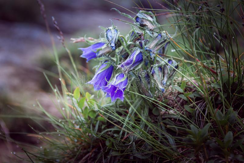 Fleurs bleues autour d'herbe verte image stock