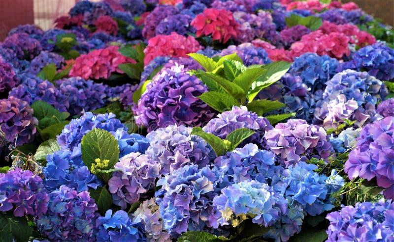 Fleurs bleues d'hortensia, pourpres photo libre de droits