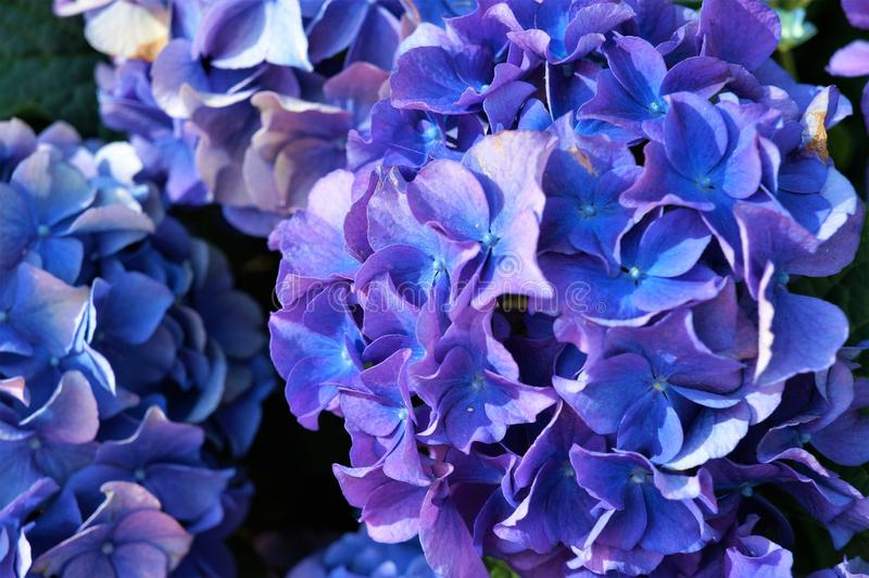 Fleurs bleues d'hortensia, pourpres image stock