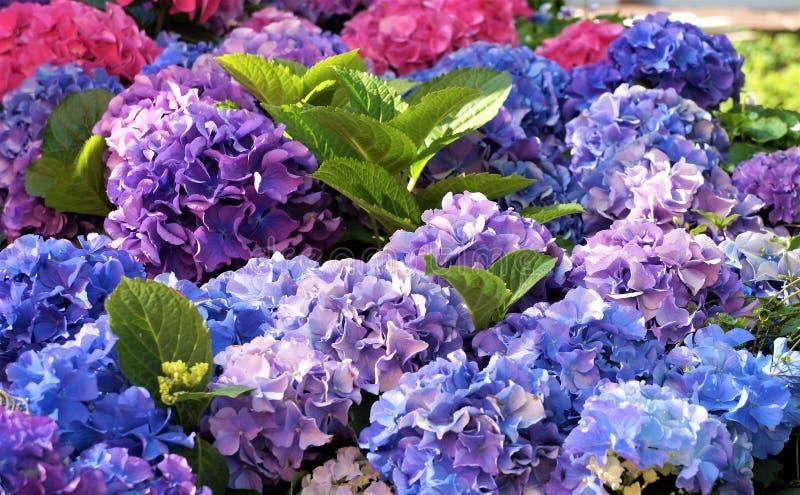 Fleurs bleues d'hortensia, pourpres photographie stock