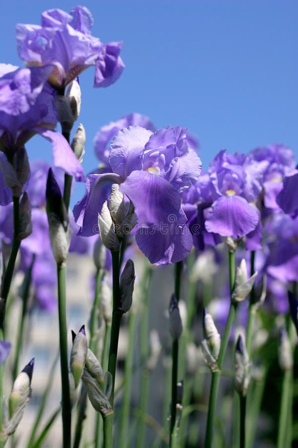Fleurs bleues d'iris photos libres de droits
