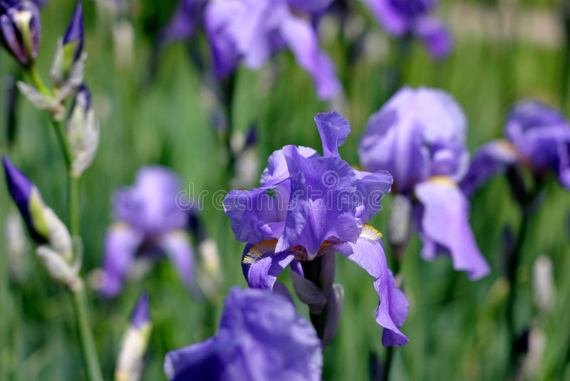 Fleurs bleues d'iris photo stock