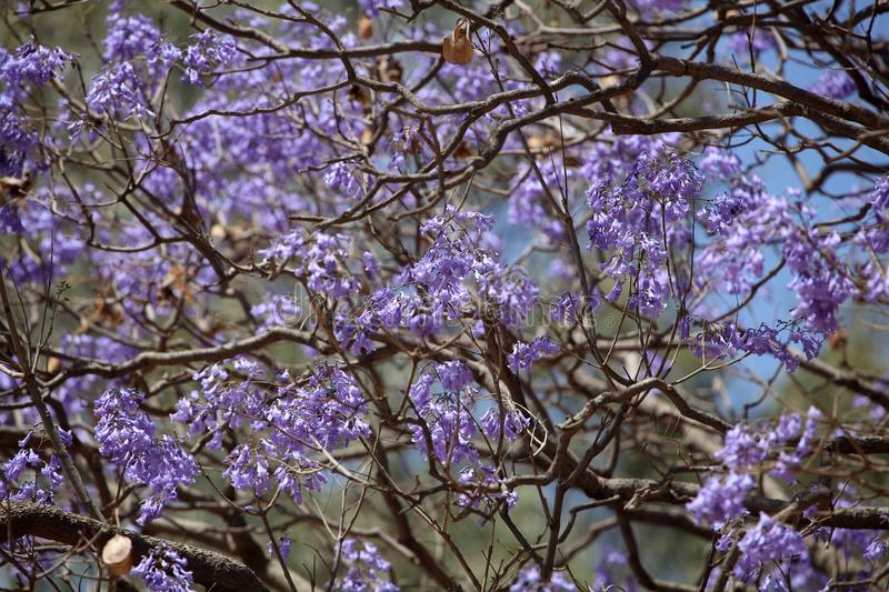 fleurs bleues d 39 un arbre de jacaranda photo stock image du centrale invahissant 68587212. Black Bedroom Furniture Sets. Home Design Ideas