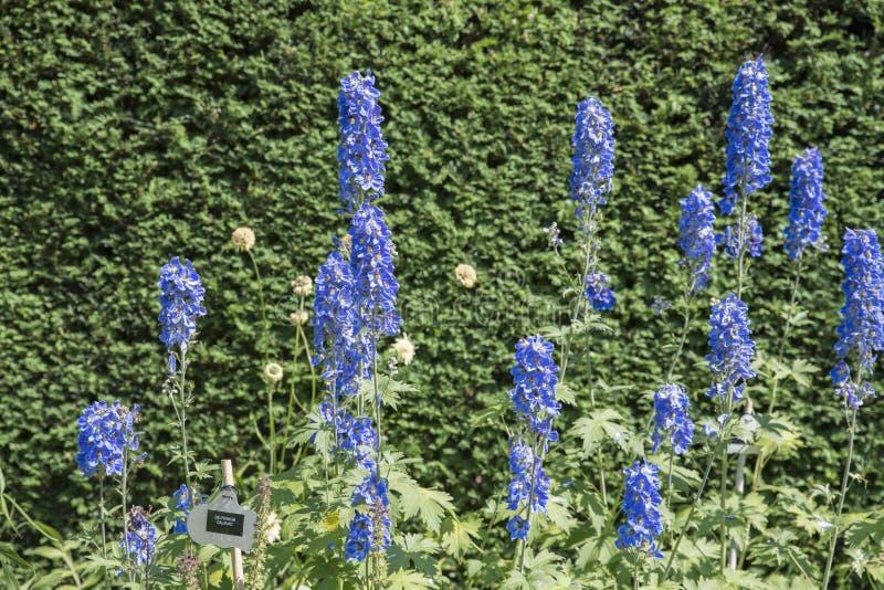 Fleurs bleues de galahad de delphinium photos stock