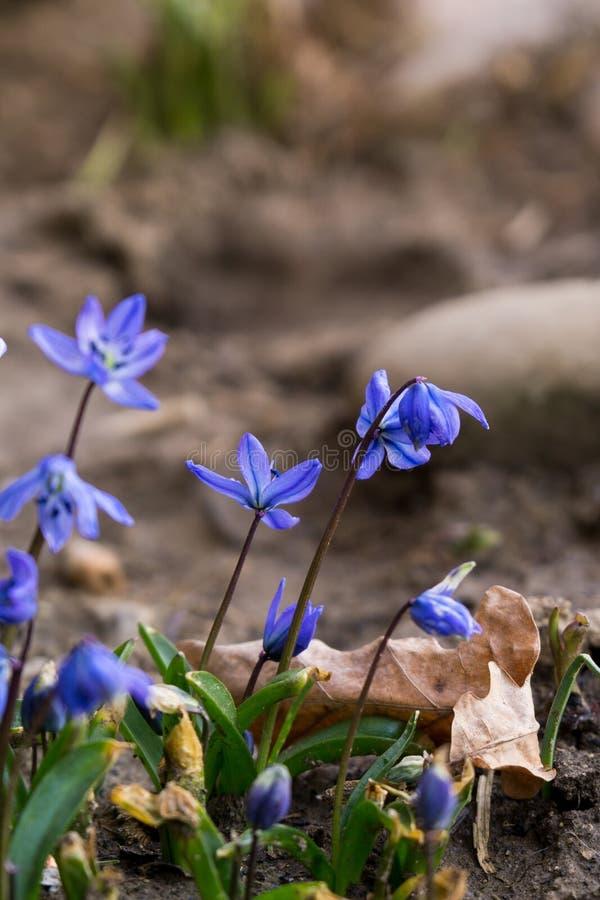 Fleurs bleues de Gilliflower et d'autres fleurs de ressort dans l'herbe dans le jardin photo libre de droits
