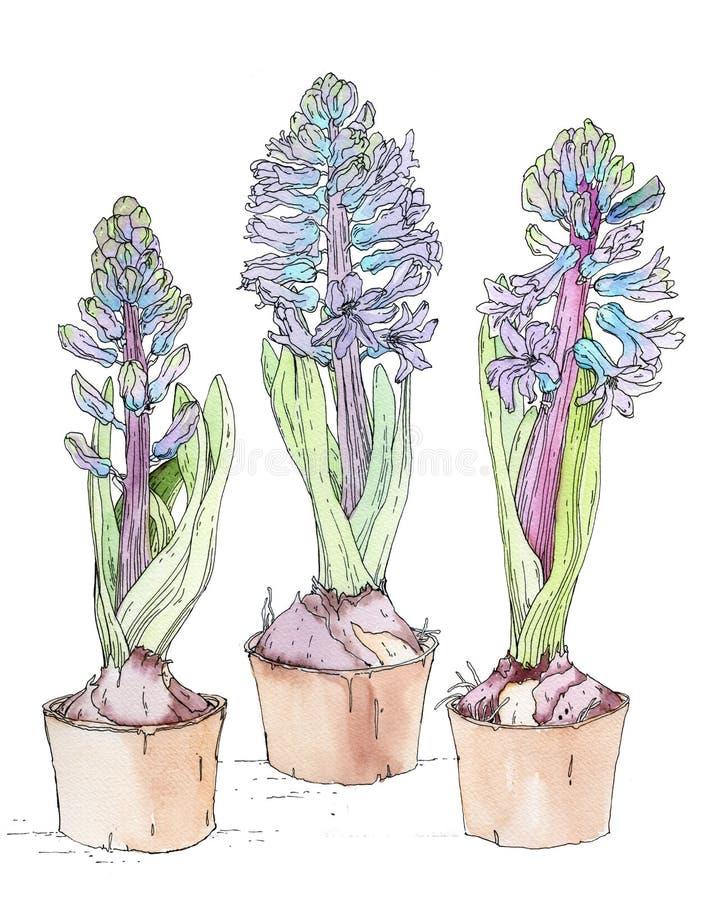 Fleurs bleues de jacinthe image stock