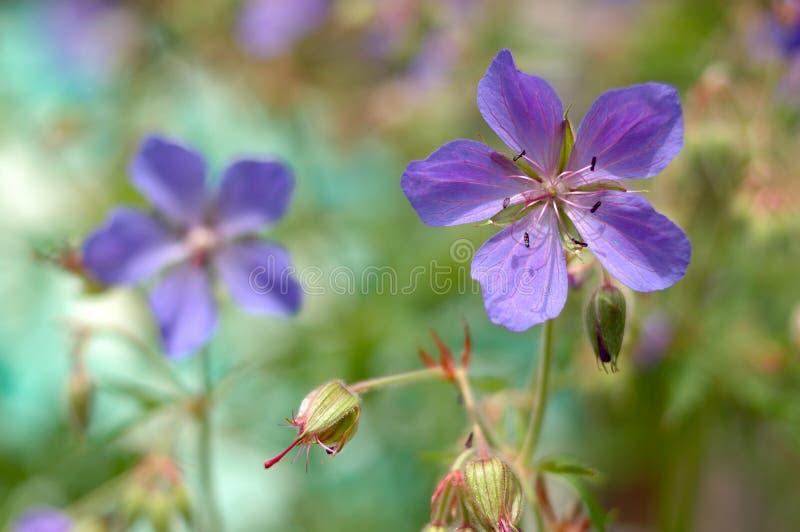 Fleurs bleues de jardin. images stock