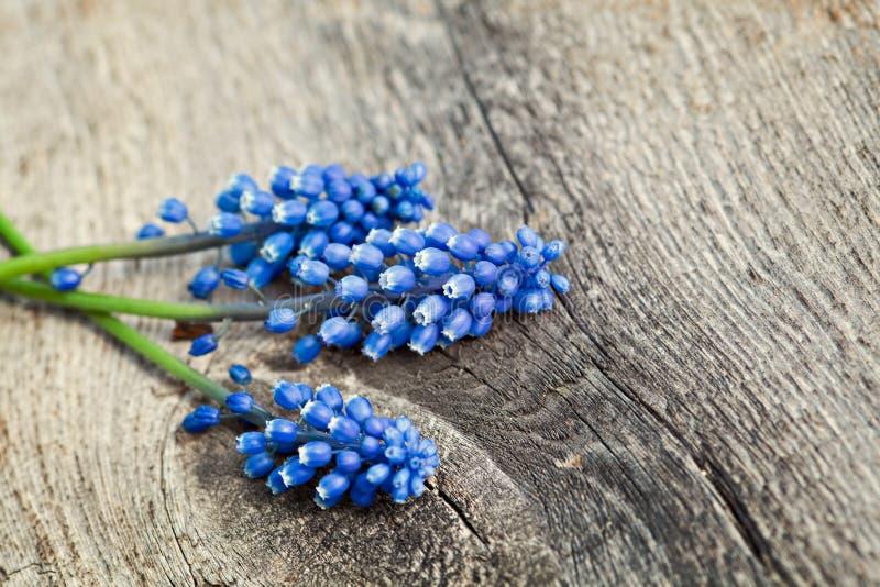 Fleurs bleues de ressort photographie stock libre de droits