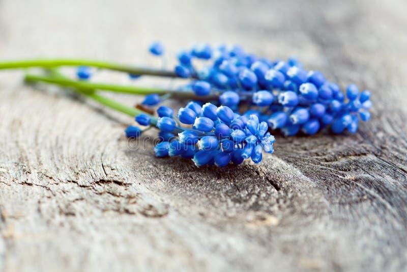 Fleurs bleues de ressort image stock
