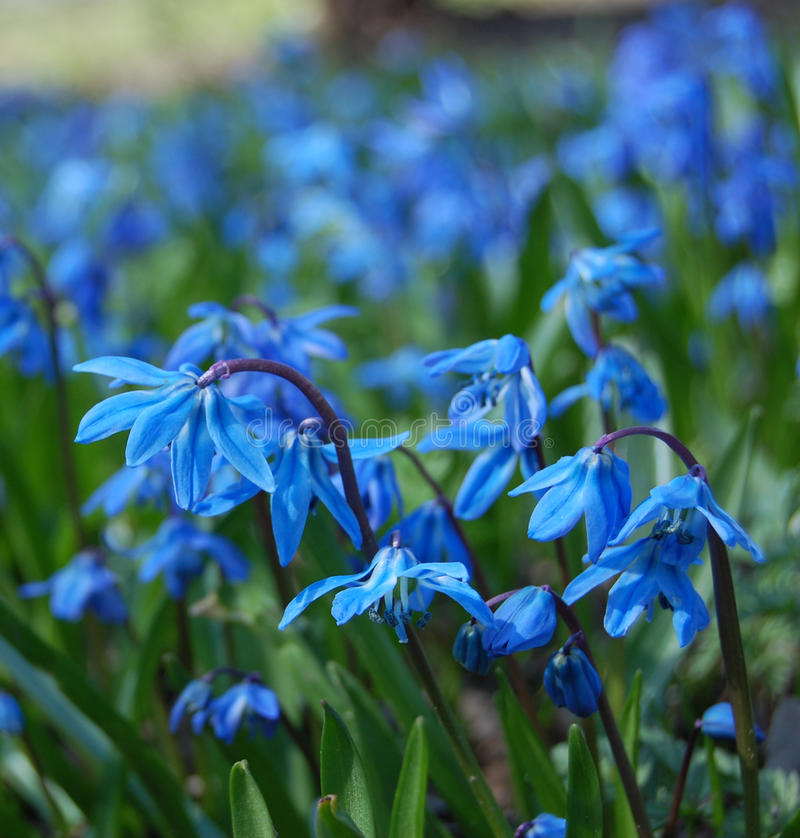 Fleurs bleues de source image stock
