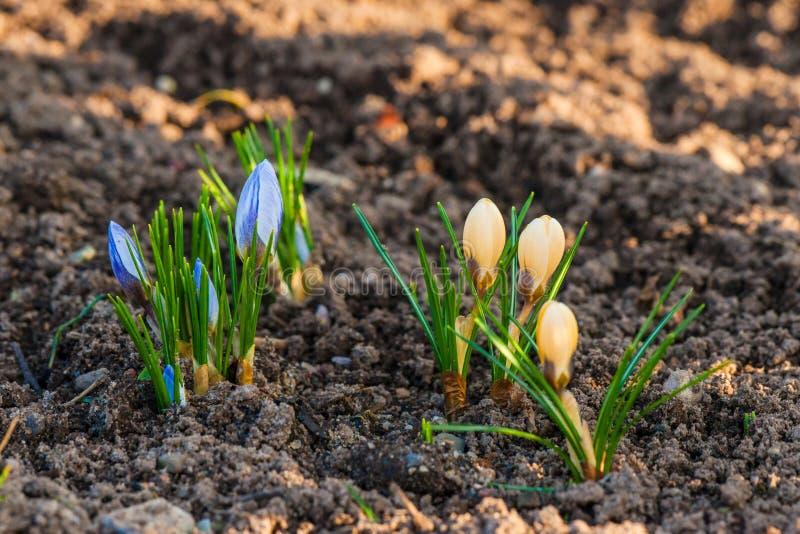 Fleurs bleues et jaunes de crocus image libre de droits
