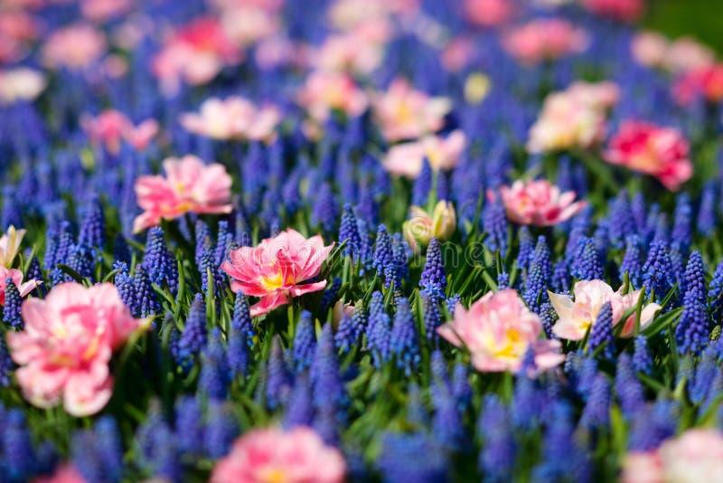 Fleurs bleues et roses photo libre de droits
