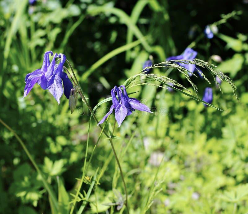 Fleurs bleues sensibles de captation d'ancolie olympiques photo libre de droits