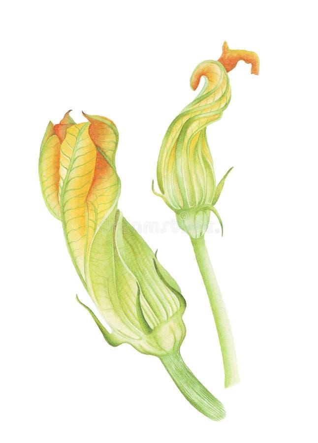 Fleurs botaniques d'aquarelle de courgette illustration stock