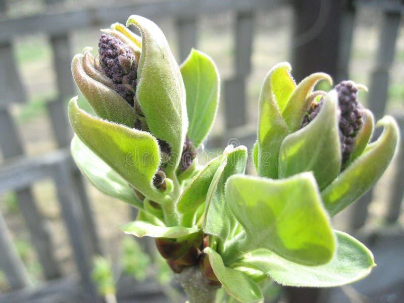 fleurs, bourgeons, ressort, verts photographie stock libre de droits