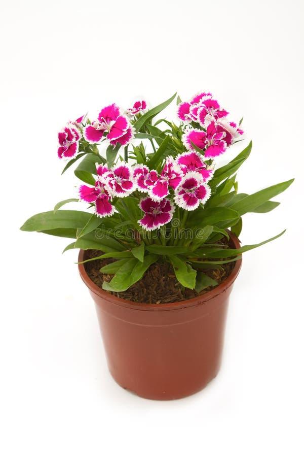 Fleurs chinensis d 39 oeillet rose de chine photo stock image du oeillets beau 36837714 - Oeillet de chine ...