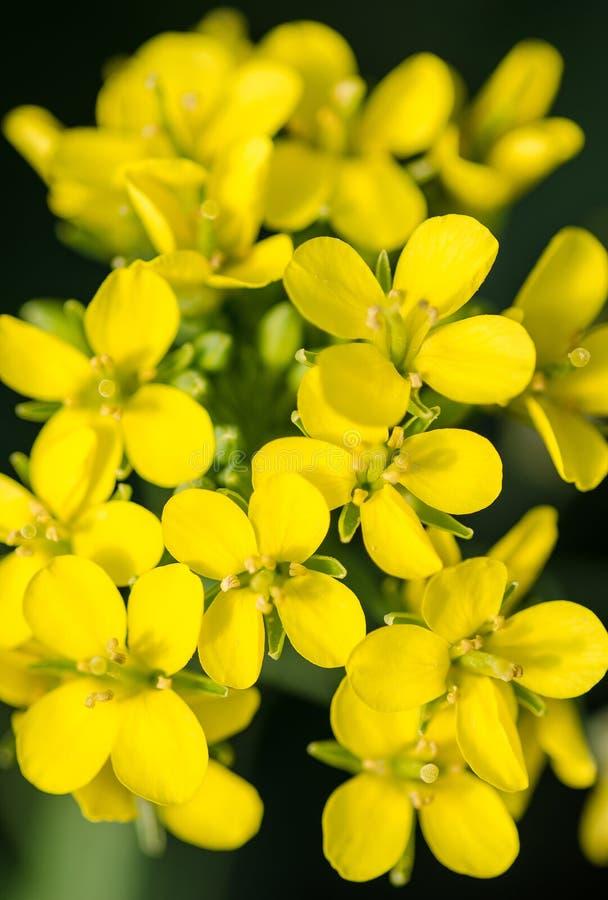 Fleurs choy de Bok image stock