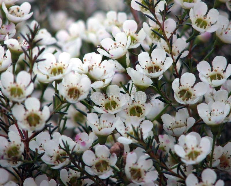 Fleurs - cire de Geraldton photos stock