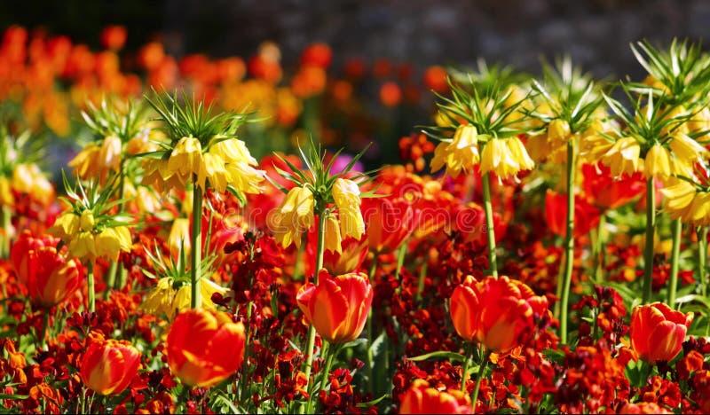 Fleurs colorées dans le jardin Beau et stupéfiant paysage de ressort photographie stock