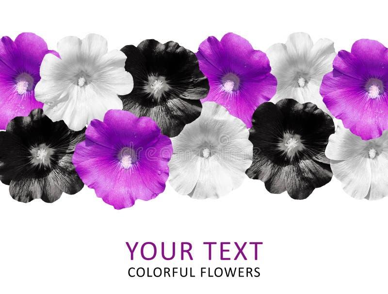 Fleurs colorées dans une rangée d'isolement sur le fond blanc mauve photographie stock