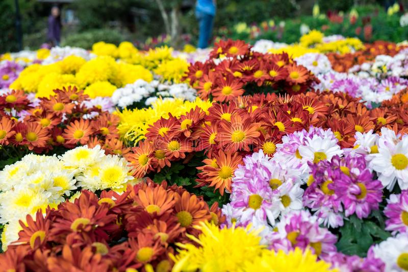 Fleurs colorées de chrysanthème dans le jardin de festival photo libre de droits