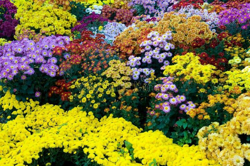 Fleurs colorées de chrysanthemum image stock