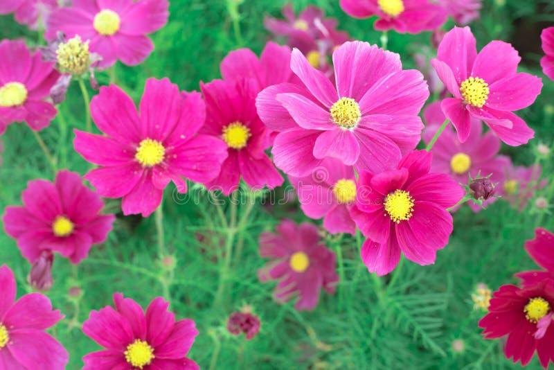 Fleurs colorées de cosmos photographie stock libre de droits
