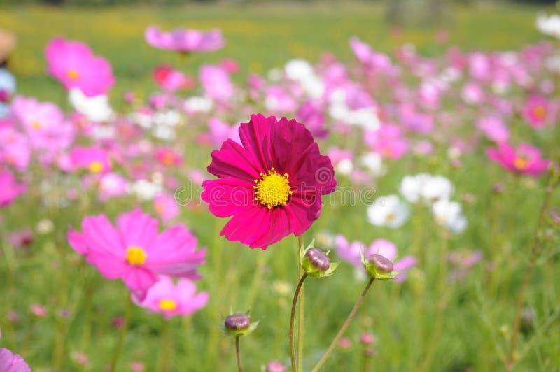 Fleurs colorées de cosmos photos stock