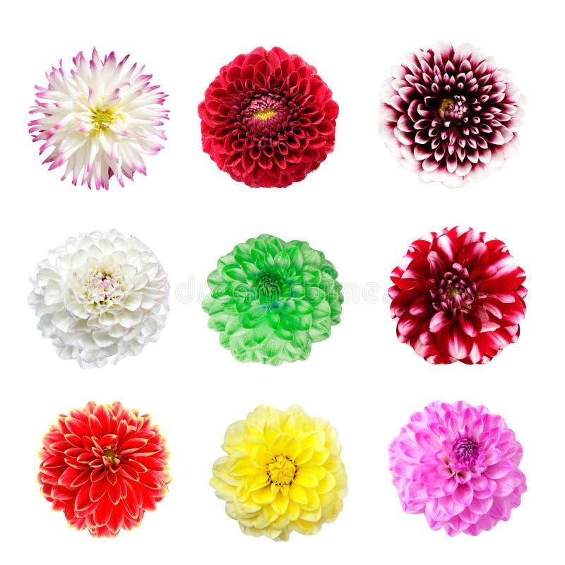 Fleurs colorées de dahlia d'isolement sur un blanc images libres de droits