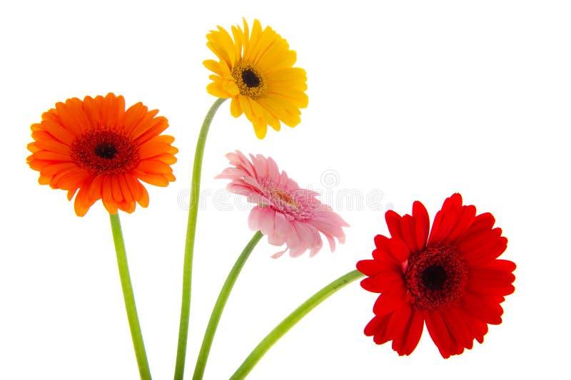 Fleurs colorées de Gerber photos stock