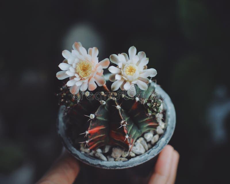 Fleurs colorées de nature d'usine de fleur de cactus en main photos libres de droits