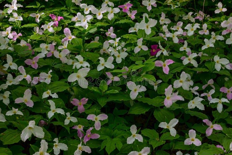 Fleurs colorées de Trillium photos stock
