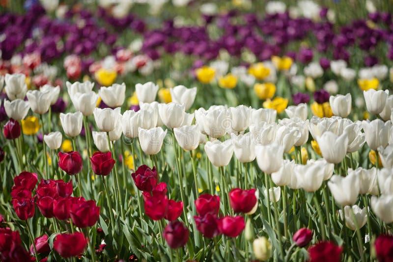 Fleurs colorées de tulipe photos stock