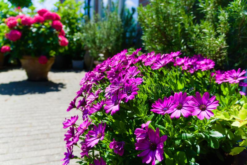 Fleurs colorées fleurissant dans le soleil d'été photos libres de droits